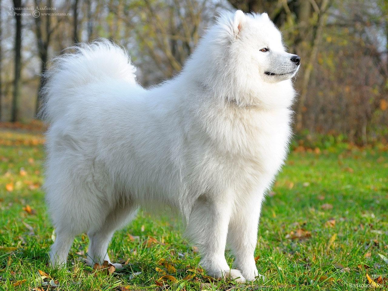 собаки породы самоедская лайка фото